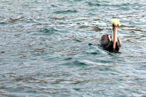 Pelican by lilylatigresse