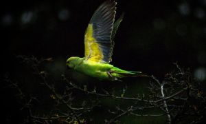 Wild green parakeet in flight by ChopShopStuK