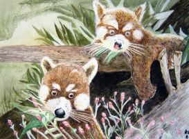 Red Pandas by RoccoBertucci