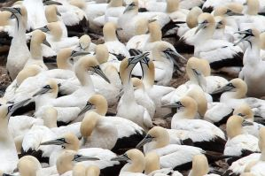 A happy of gannets by MaresaSinclair