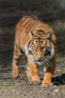 [STOCK] [Hi-Res] Tiger #2 by Seb-Photos