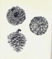 pine cone study by montmartre96
