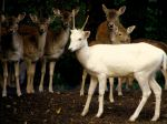 white deer by Mittelfranke