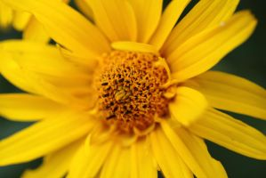 False Sunflower III by Vanell-Photography