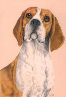 Beagle by arthelius