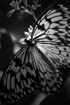 Butterfly in Black and White. by heartofhealing