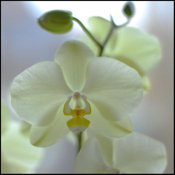 Orchid_01 by Gesche