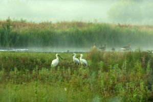 Spoonbills in my backyard... by steppeland