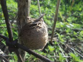 Praying Mantis Egg Nest by RainbowGuitars
