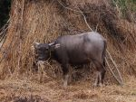 Baby carabao by Michawolf13