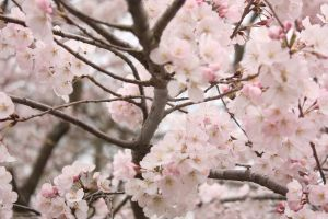 Cherry Blossom by Photos-By-Tanya