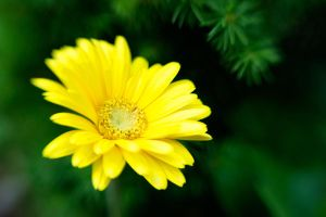Lensbaby Yellow Daisy by LDFranklin