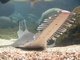 sawfish by Tobermory-talks
