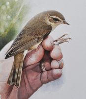 Willow warbler in ringer's hand by Renum63