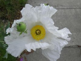 Huge white flower by bwall49