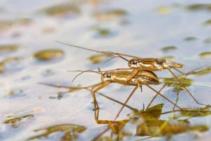 Water Strider Piggyback by melvynyeo