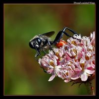 Thread-waisted Wasp by boron