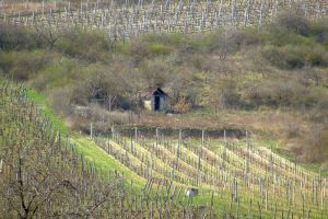 Grape plantation by Solct