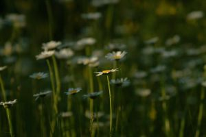 Field of Daisies by gerald-the-mouse3