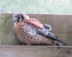 American Kestrel 4 by Windthin