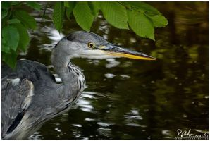 Ardea cinerea 11 by Salvas