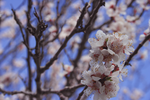 Apricot Blossoms by rnoltara
