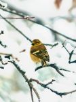 Winter Goldfinch by AquarianPhotography