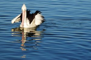 Pelican reflections 1 by wildplaces