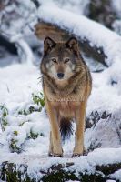 wolf III by moem-photography