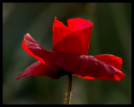 Poppy in the evening sunshine by pell21