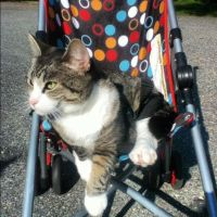 My cat SweetPea in the stroller by DjhannaS