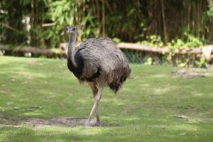Ostrich 2 by CitronVertStock