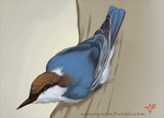 Brown-headed Nuthatch by smokewithoutmirrors
