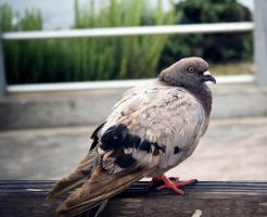 Big fat pigeon by Sinned-angel-stock