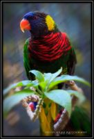 Lorikeet by Mac-Wiz