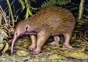Western Long-beaked Echidna by WillemSvdMerwe
