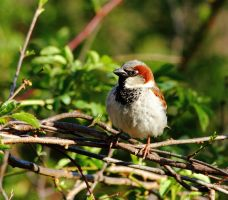 An evening sparrow by natureguy