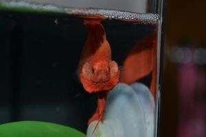 Angry Betta! by NotoriousBunny