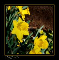 Daffodils in N.C. by LadyAliceofOz
