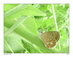 Butterfly - Aricia sp. 01 by ESDY
