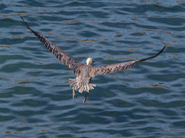 Pelican fly by by photographyflower