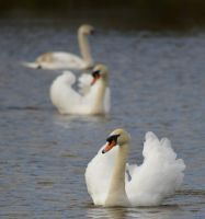 Swans 2014 2 4 by melrissbrook