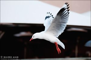 Silver Gull - 03 by shiroang