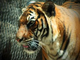 Sita Tiger 2 by HDevers