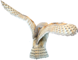 Barn Owl Stock - no bg by hyperactive-activate