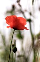 Coquelicot pour mes amis by Douce-Amertume