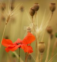 last red in the poppy field... by clochartist-photo