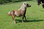 Chocolate Miniature Horse - 01 by horsiexstock