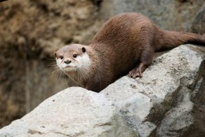 Asian Otter 13 by Art-Photo
