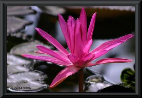Pink waterlily by Sipramiili